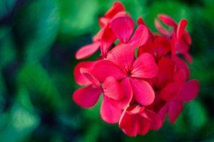 geraniums-jardin-vertical