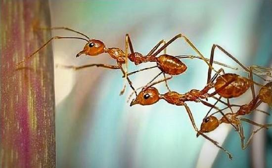 puente de hormigas