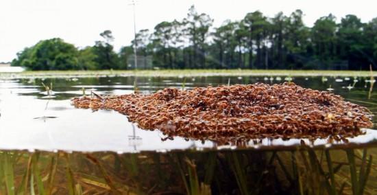 Hormigas rojas flotando