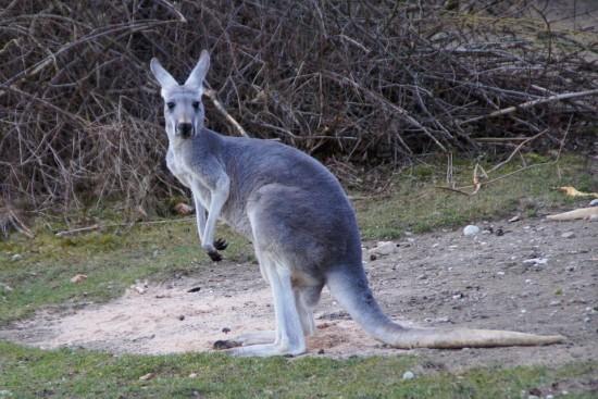 Tradiciones Navideñas- Canguro en Australia
