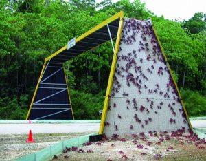 Cangrejo rojo migrando