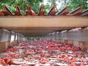 cangrejo rojo migrando por paso subterráneo