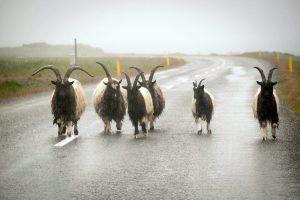 cabras caminando por una carretera de Islandia